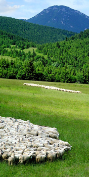 Ovce ve stádu